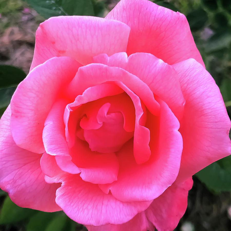 The Rose by Kelly Thackeray