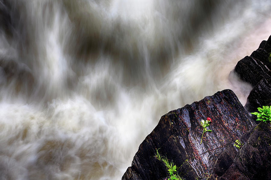 The Rose of Black Linn Falls - The Hermitage - Dunkeld Scotland by Jason Politte