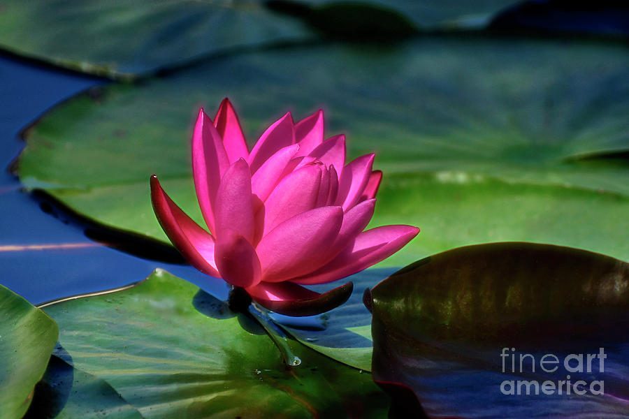 The Rose Of The Water by Kathy Baccari