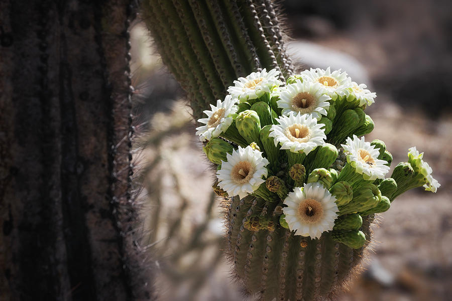The Saguaro Bride  by Saija Lehtonen
