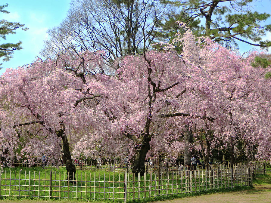 Pink Weeping Cherry Trees Photograph By Jane Loomis