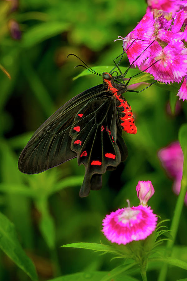 The Semperi Swallowtail Butterfly by Cindy Lark Hartman