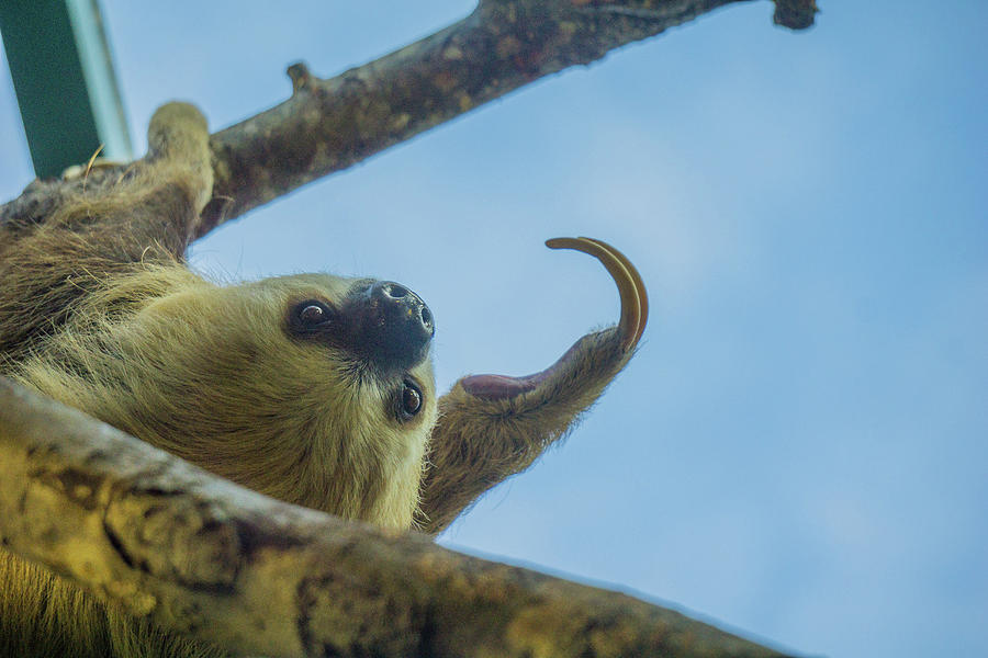 The Sloth by Linda Howes