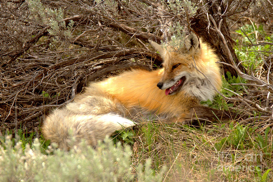 The Smiling Fox by Adam Jewell