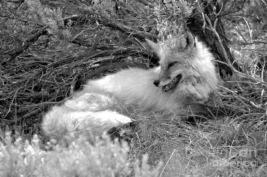 The Smiling Fox Black And White by Adam Jewell