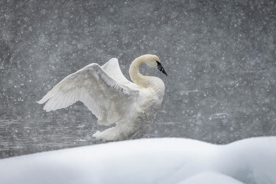 Swan Photograph - The Snow Swan by Russell Cody
