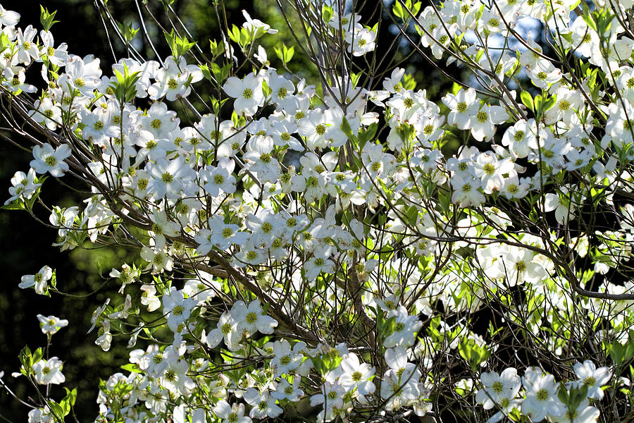 The Spring Beauty of Dogwoods  by Kathy Clark