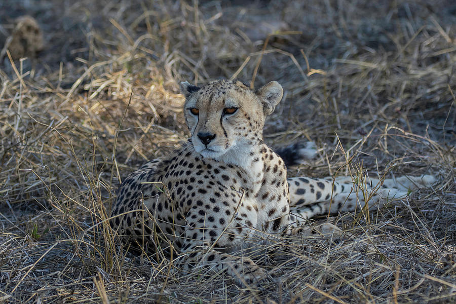 The Photograph - Cheetah In Repose by Thomas Kallmeyer