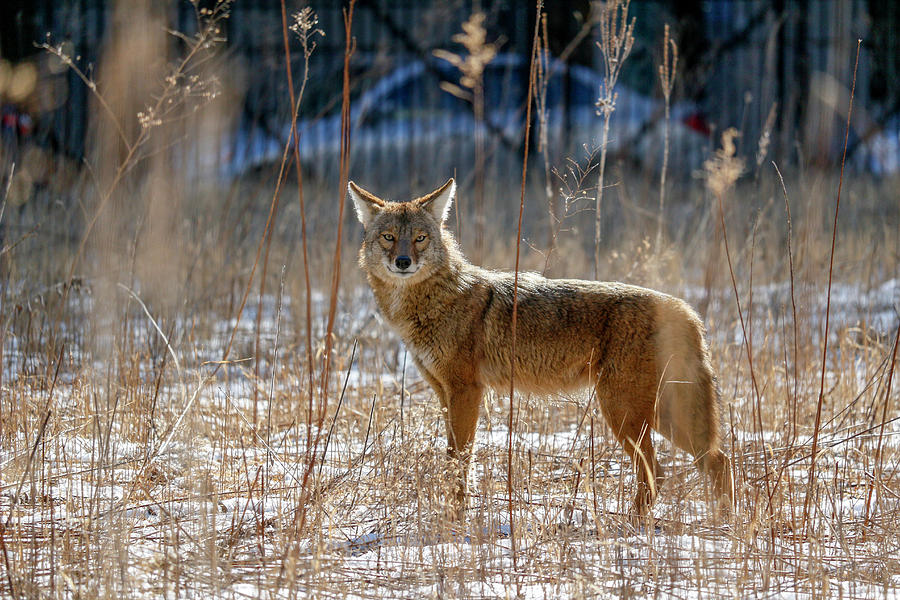 The Streeterville Coyote by Todd Bannor