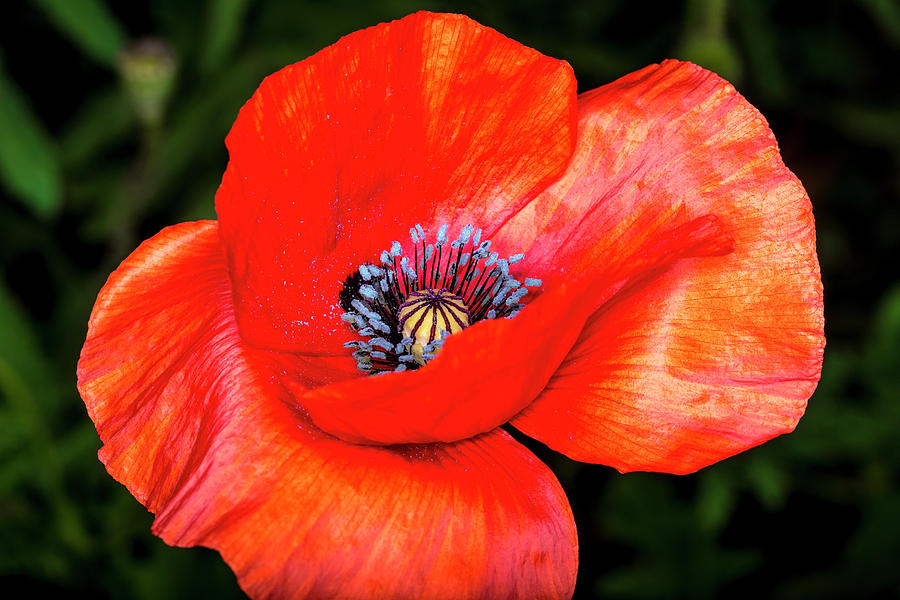 The Strength Of The Poppy Flower Photograph