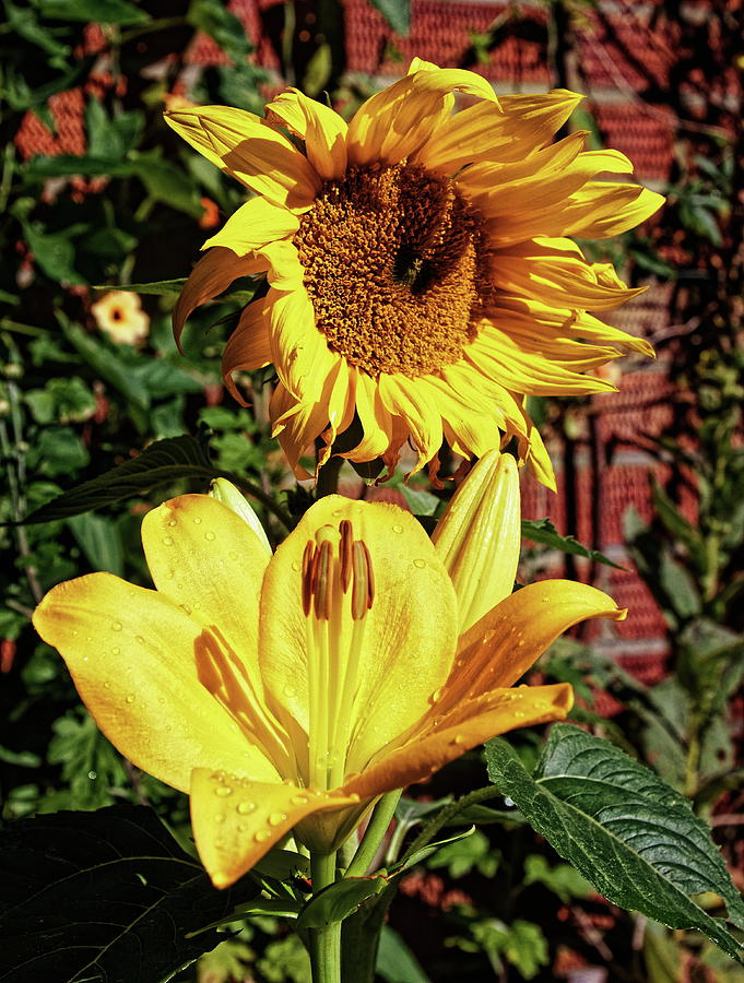 The Sun Flower And The Lily by Jeff Townsend
