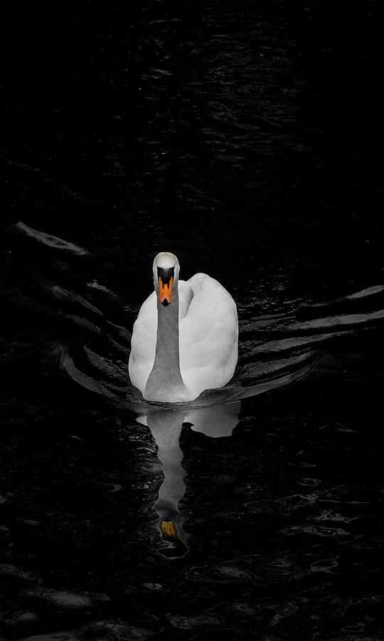 The Swan by Alan Campbell