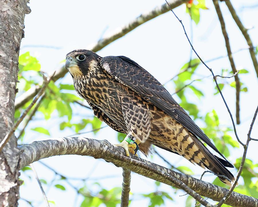 The Tagged Peregrine Falcon by Lara Ellis