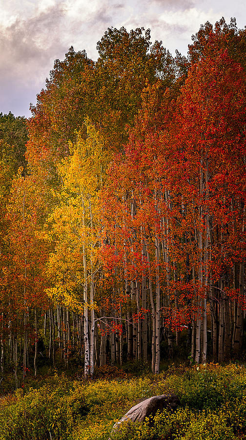 Aspen Trees Photograph - The Tall Ones by Dave Koch