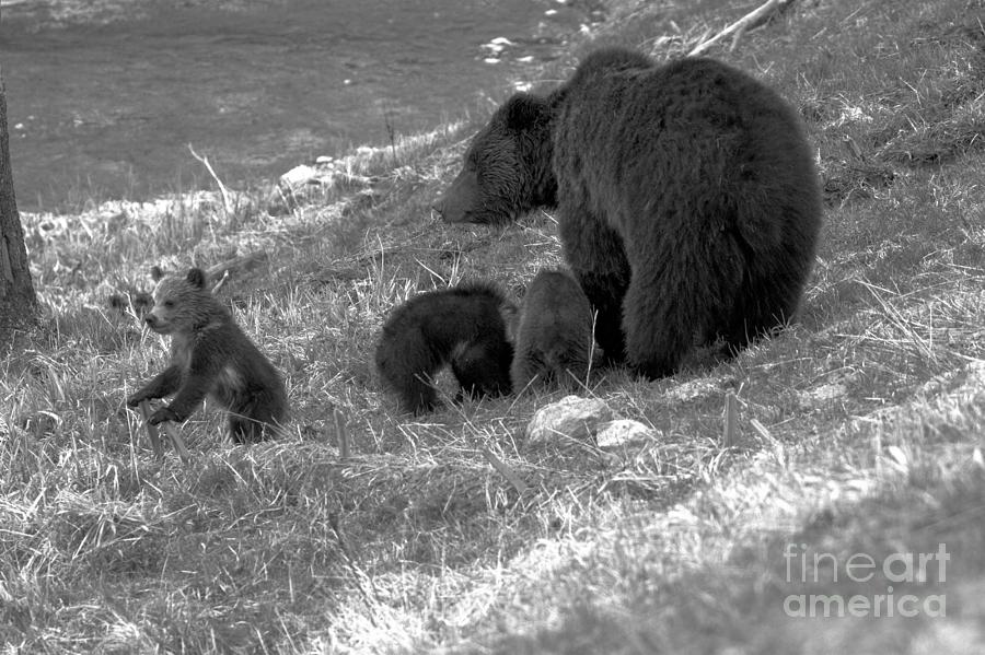 The Toublemaker Of The Grizzly Trio Black And White by Adam Jewell