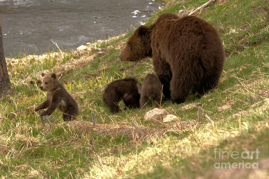 The Troublemaker Of The Grizzly Trio by Adam Jewell