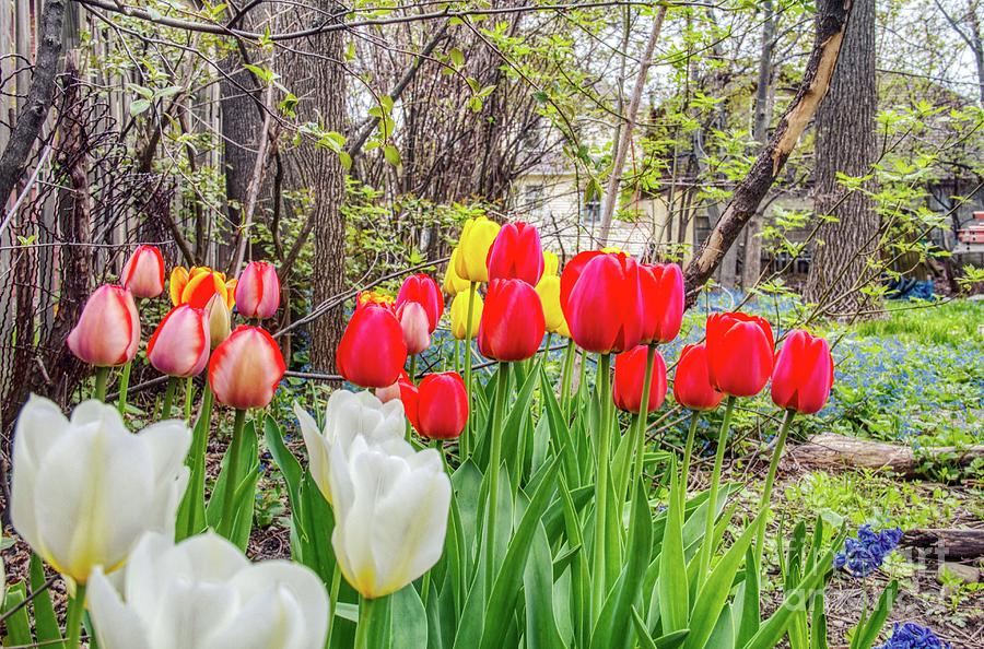 The tulips are out. by Jim Lepard