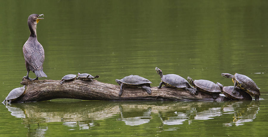 Log Photograph - The Turtle King by Michael Castellano