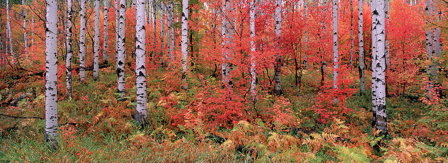 The Wasatch Mountain Forest Of Maple Photograph by Mint Images - David Schultz