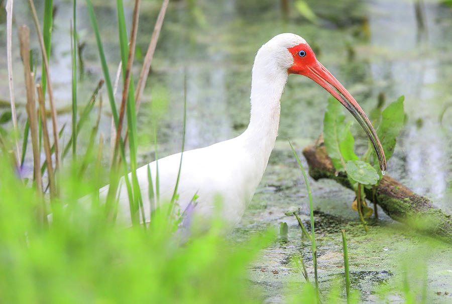 The White Ibis by Dan Sproul