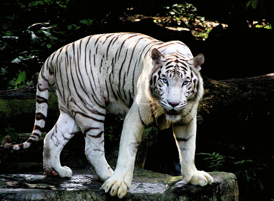The White Tiger Photograph by Mathew Spolin
