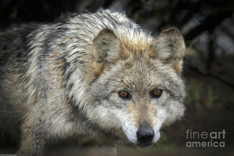 The Wolf by Mitch Shindelbower