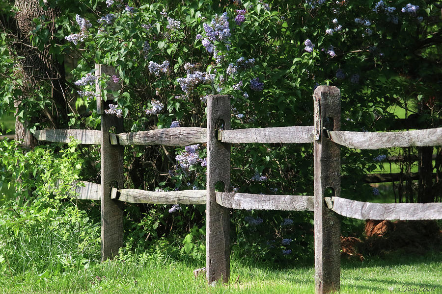 The Wood Fence with Lilacs by Trina Ansel