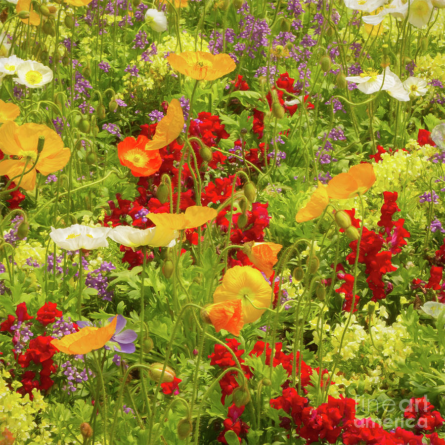 Gardens Photograph - The World Laughs In Flowers - Poppies by Marilyn Cornwell