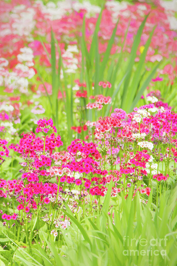 Gardens Photograph - The World Laughs in Flowers - Primula by Marilyn Cornwell