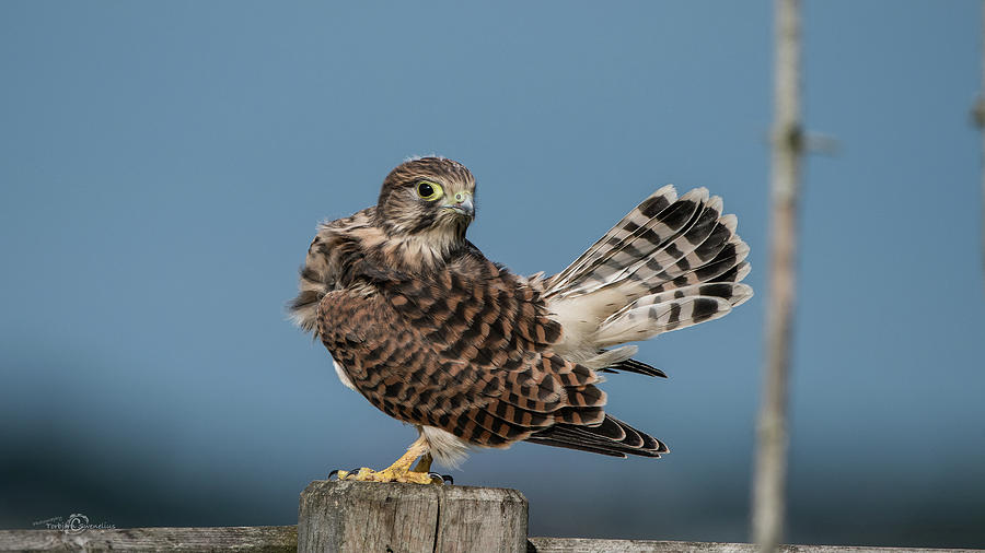 The young Kestrel's tail in the air by Torbjorn Swenelius