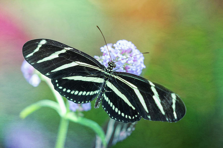 The Zebra Longwing Butterfly by Will Moneymaker