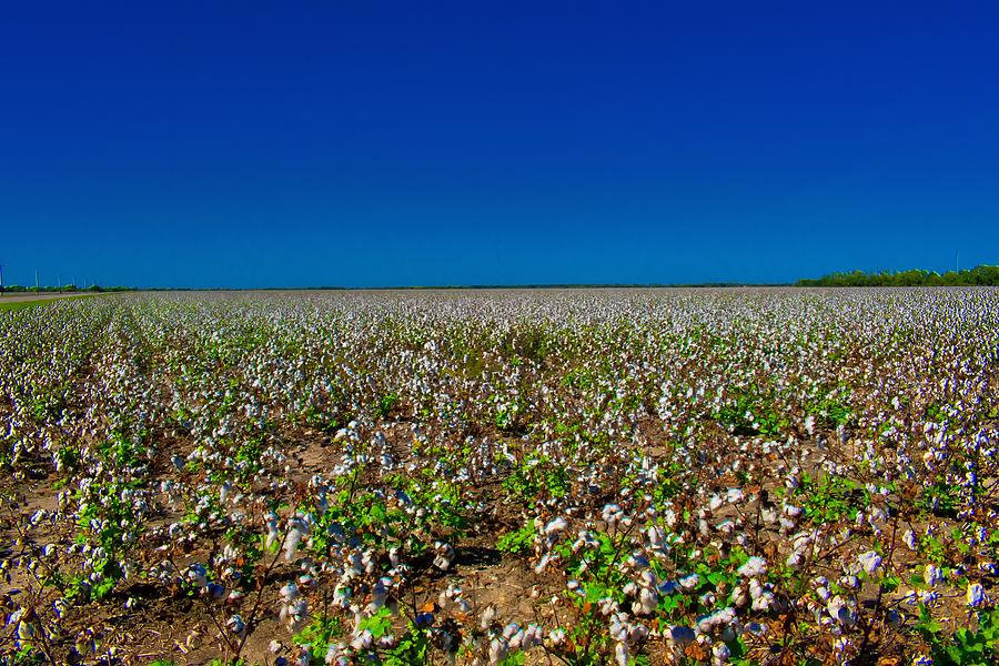 Them Old Cotton Fields Photograph