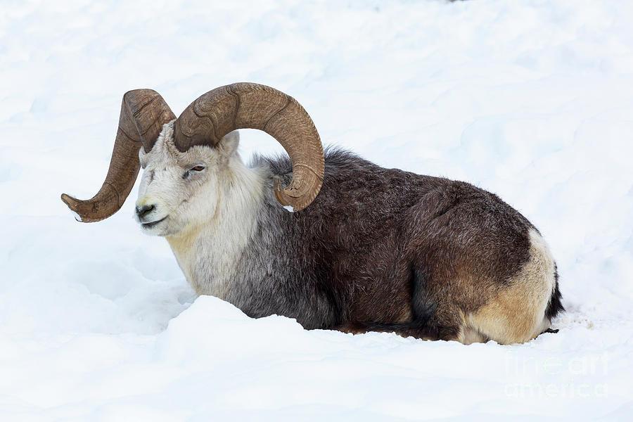 Thinhorn sheep Ovis dalli by Louise Heusinkveld