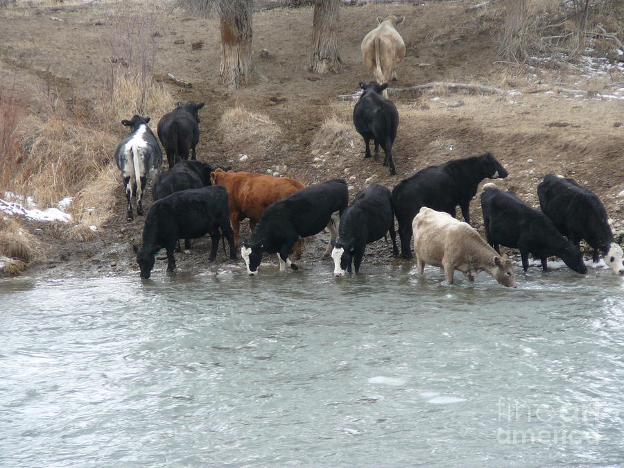 Cattle Ranch Thirsty Cows Photograph