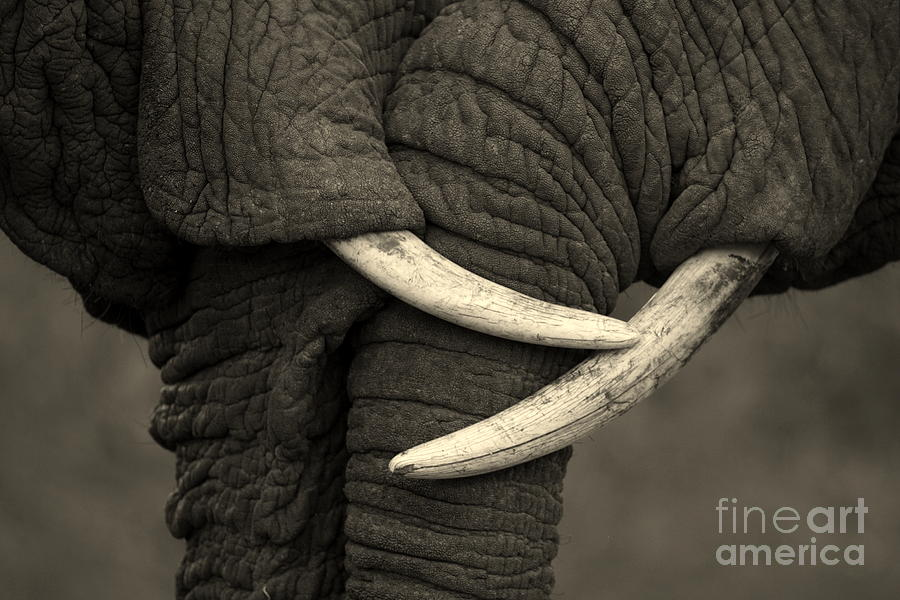 Love Photograph - This Amazing Photo Of Two Elephants by Jonathan Pledger