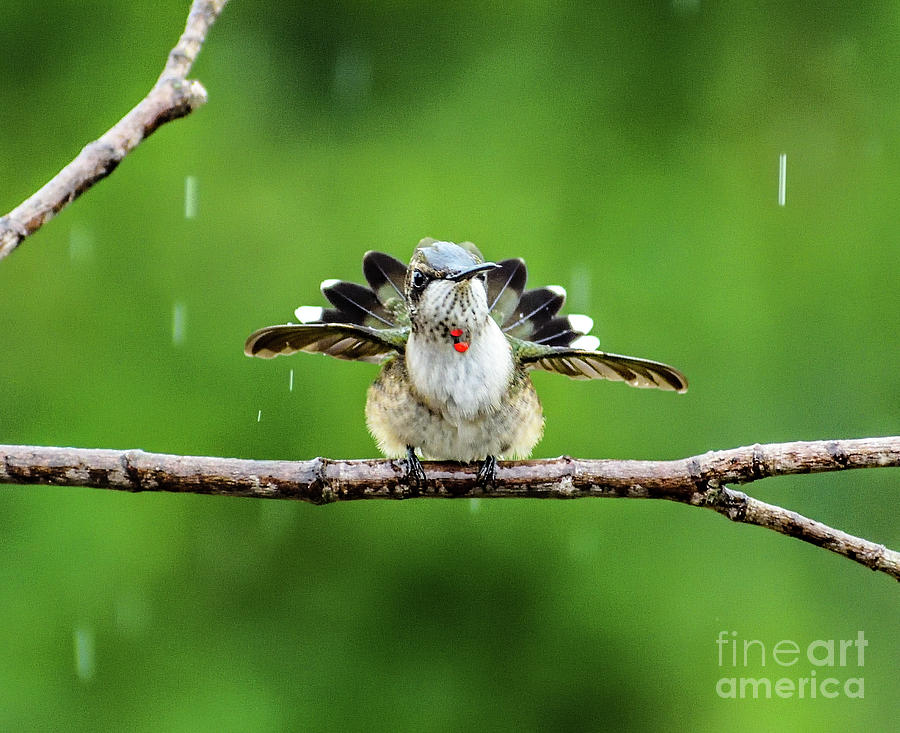 This Ruby-throated Hummingbird Looks Like A Turkey by Cindy Treger