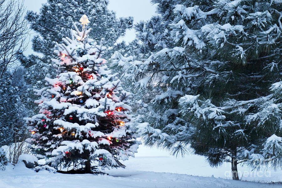 Pine Tree Photograph - This Snow Covered Christmas Tree Stands by Ricardo Reitmeyer