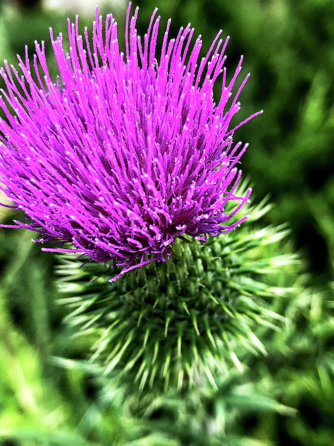 Thistle by Joseph Yarbrough