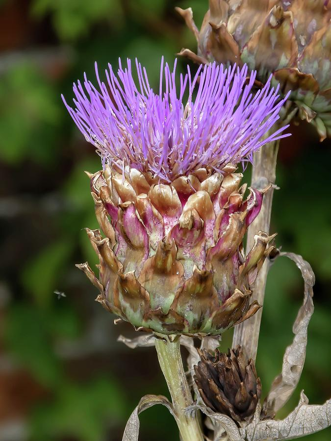 Thistle by James Lamb