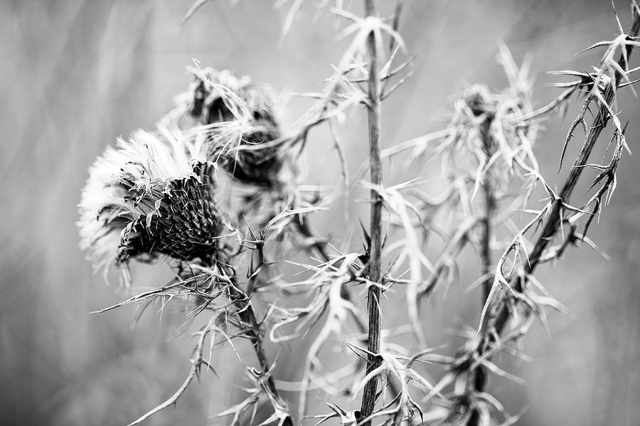 Thistles in Winter by Keith Dotson