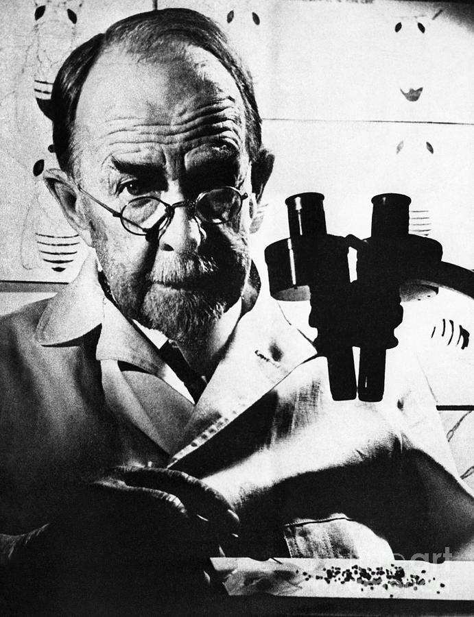 Thomas Hunt Morgan With Microscope Photograph by Bettmann
