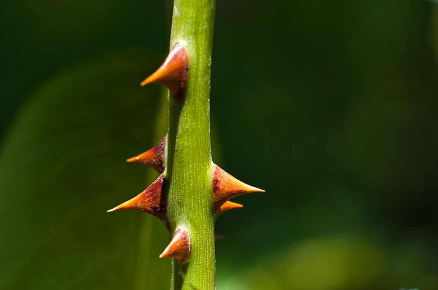 Thorny Stem Photograph by Kazakov