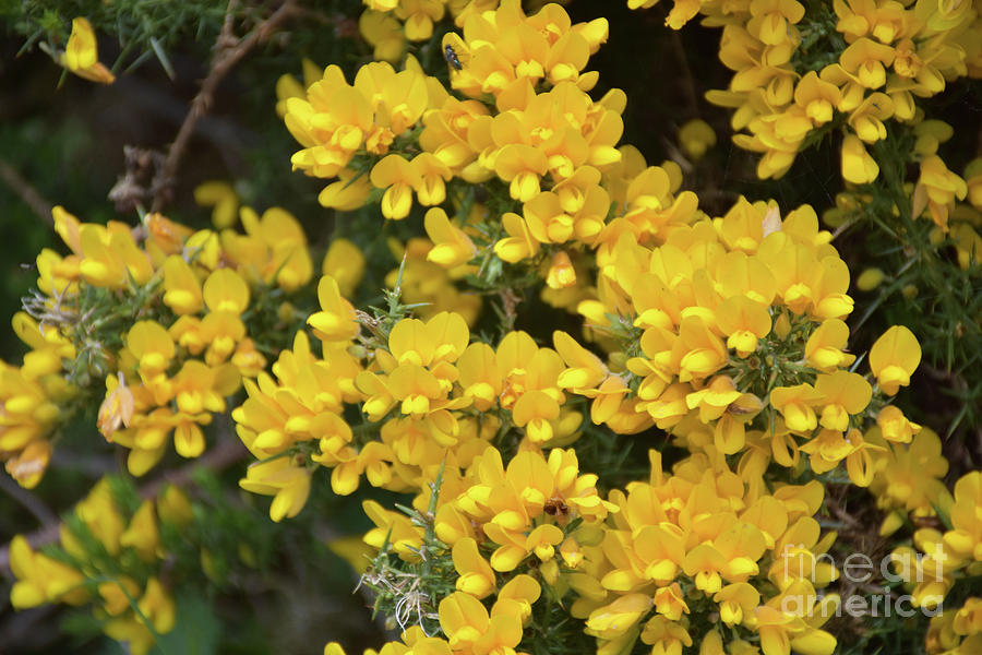 Thorny Yellow Gorse Shrub Flowering And Blooming Photograph By