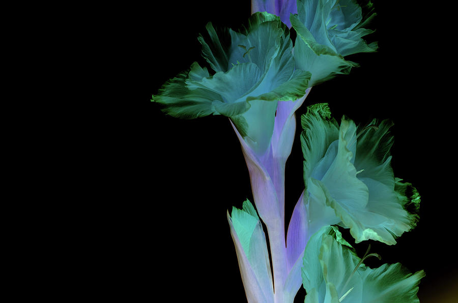Flowers Photograph - Thoughts of mardi Gras by Paulina Roybal