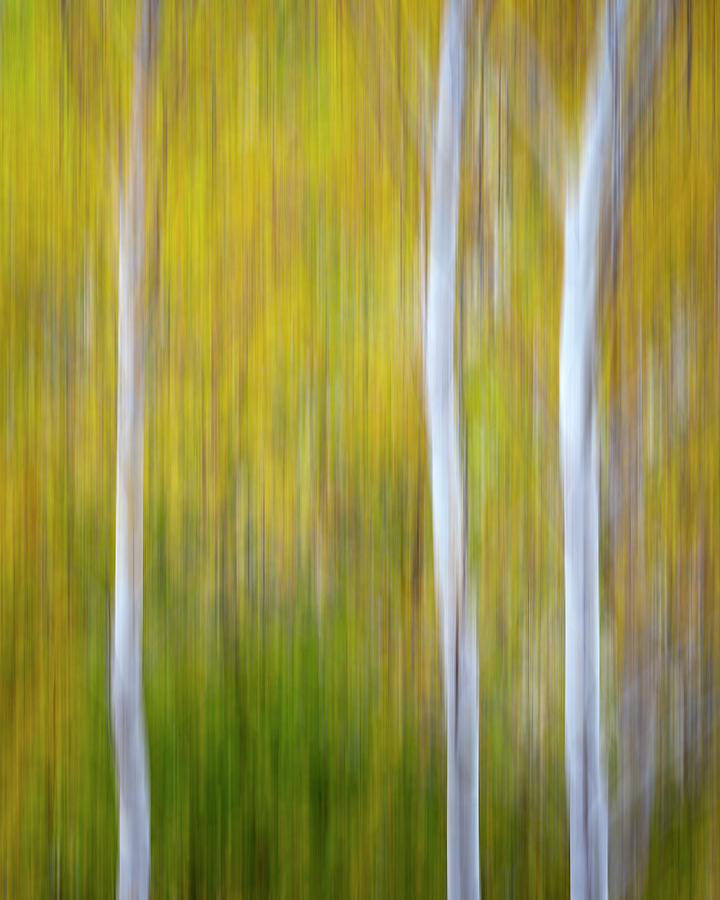 Three Aspens in Autumn Abstract by Adam Romanowicz
