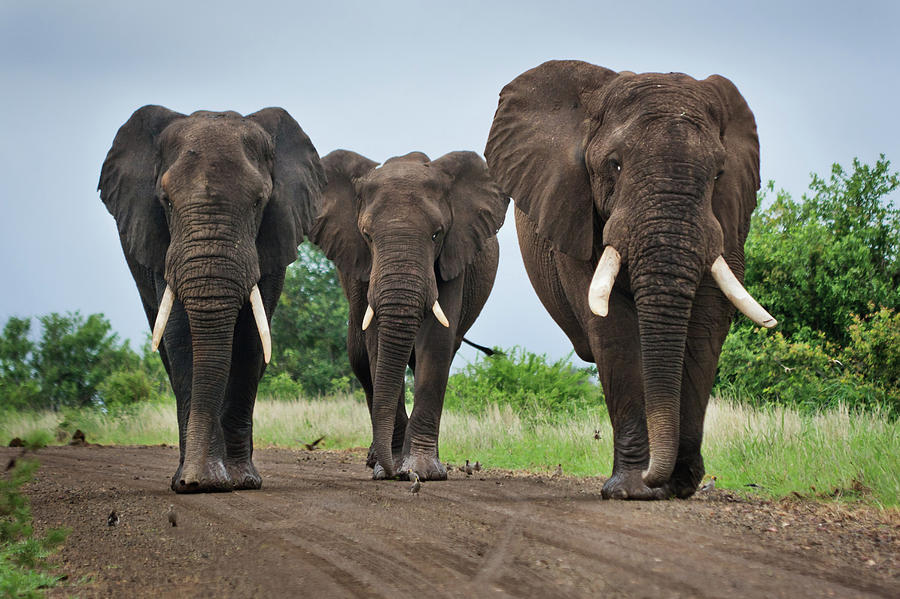 Three Big Elephants On A Dirt Road Photograph by Johansjolander