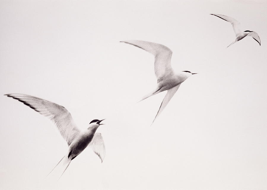 Three Birds Called Terns In Black And Photograph by John W Banagan