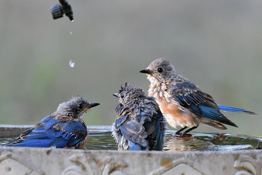 Three birds in a tub by Philip Duff