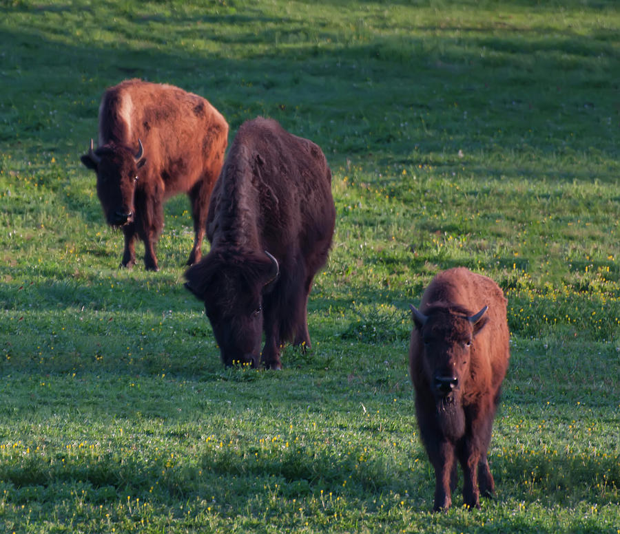 three bison in a field by Chris Flees