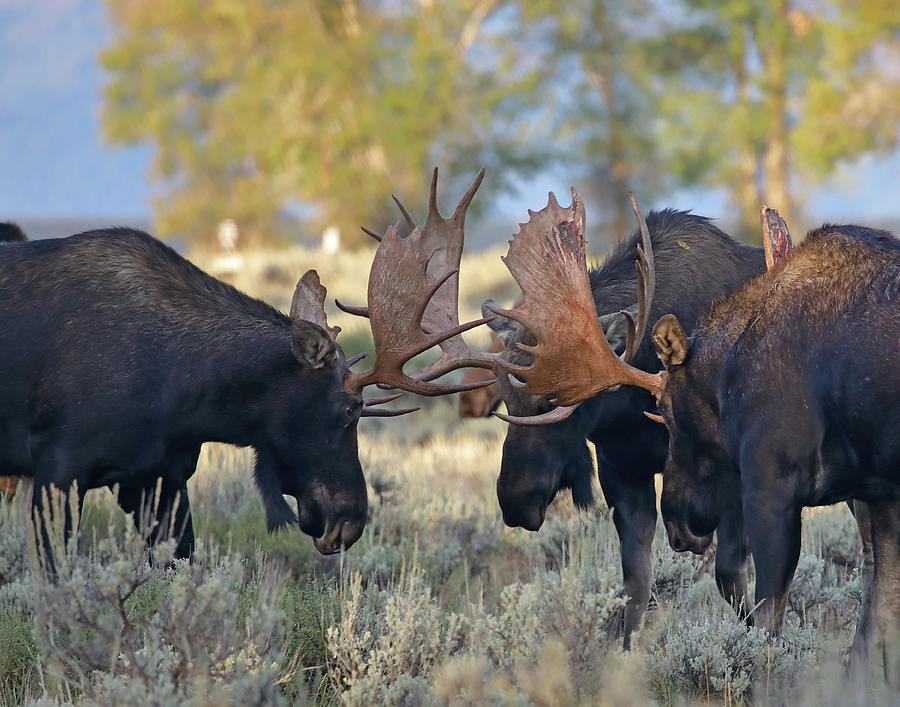 Three Bull Moose by Jean Clark